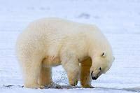 polar bear, Ursus maritimus, looking for food on the pack ice, 1002 coastal plain of the Arctic National Wildlife Refuge, Alaska, polar bear, Ursus maritimus