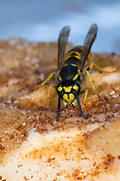Wespe, Wespen auf Kuchen, Kuchenstück, Apfelkuchen, wasp, yellowjacket, wasps, yellowjackets, Deutsche Wespe, Wespe, Wespen, Vespula germanica, Vespa germanica, Paravespula germanica, German wasp, European wasp, German yellowjacket, La guêpe germanique, la guêpe européenne, la guêpe