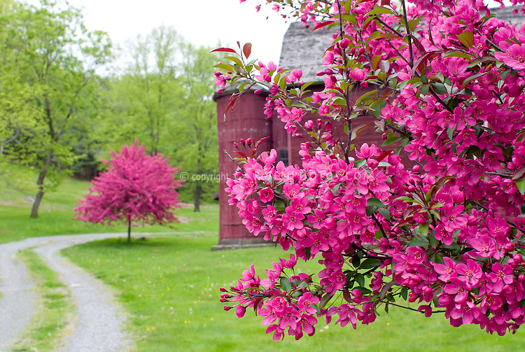 Crabapples in bloom in spring, pink, with barn . Crab apple Malus