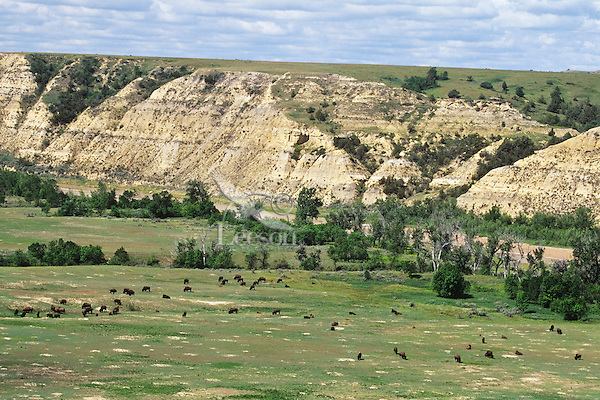 American Bison herd along Little Missouri River, Theodore Roosevelt National Park, North Dakota.  Summer.
