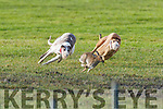 Coursing at the Kingdom cup meeting on Saint Stephens day at Ballybeggan Tralee.