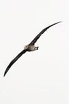 Black-footed Albatross (Phoebastria nigripes) flying, Monterey Bay, California