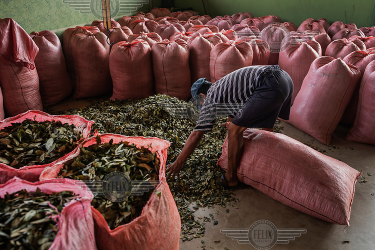 Cocaleras (coca leaf farmers), fill sacks with dried coca leaves at Chimore market, a city located in the Chapare region, an electoral stronghold of former President Evo Morales and the main source of coca leaves used in the illegal production of cocaine.<br /><br />Former President and former coca farmer Evo Morales, forced the American DEA to leave Bolivia and introduced a policy of legal coca farming while maintaining strong enforcement of drug laws to combat the illegal production of cocaine. As a consequence the area under coca production has remained constant and the murder rate in Bolivia remains one of the lowest in Latin America. The Bolivian experience is at odds with the other two major producers Colombia and Peru which have had little success in suppressing coca production which continues to expand, while murder rates in both countries remains high.
