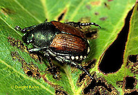 1C13-060d  Japanese Beetle and eaten leaves - Popilla japonica.