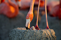 American Flamingo (Phoenicopterus ruber) standing over chick. Yucatan, Mexico.