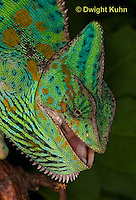 CH51-618z Female Veiled Chameleon in display color, Chamaeleo calyptratus