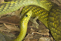 0423-1122  Western Green Mamba (West African Green Mamba), Dendroaspis viridis  © David Kuhn/Dwight Kuhn Photography