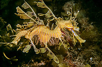 leafy sea dragon, (c), Phycodurus eques, Australia