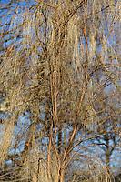 This is the example of the Jardin des Plantes of the Monte Etna Broom -Genista aetnensis-, in the winter (Paris, 2010).<br /> <br /> Questo è l'esemplare del Jardin des Plants della ginestra dell'Etna - Genista aetnensis-, in inverno (Parigi, 2010).
