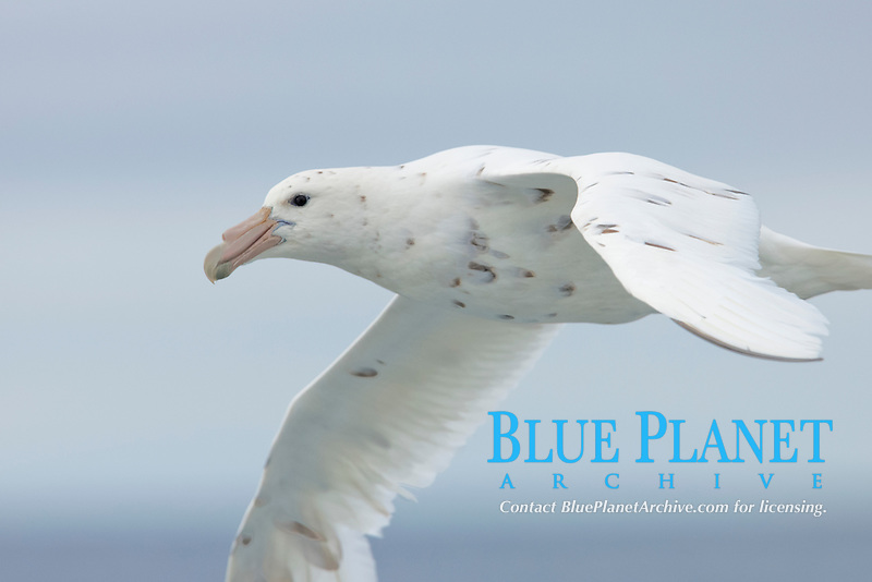 White nellie, the white morph of the southern giant petrel.  Southern giant petrel in flight.