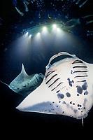 reef manta rays, Mobula alfredi, feeding frenzy at night, funneling plankton gathered around divers' flash lights, Kona Coast, Big Island, Hawaii, USA, Pacific Ocean