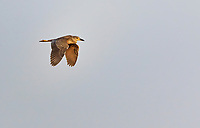 Juvenile Black-Crowned Night Heron in flight at sunset against cloudless sky