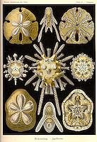 Echinidea (Sand Dollars), by Ernst Haeckel, 1904