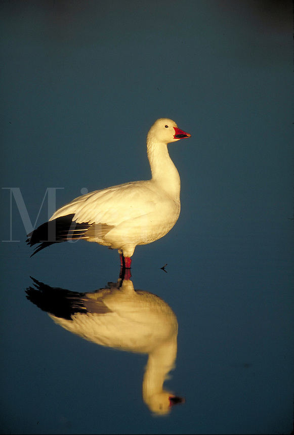 Snow Goose with reflection. New Mexico, Bosque del Apache National Wildlife Refuge.