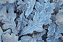 Sessile Oak leaves {Quercus petraea} covered in frost. Peak District National Park, Derbyshire, UK. November.