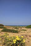 Israel, Sharon region, Evening primrose flowers at Hadera coast