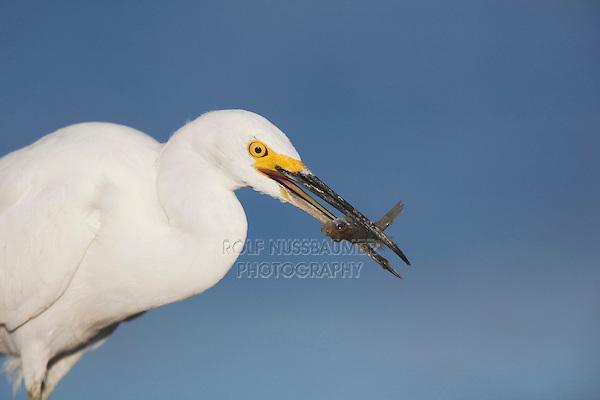 Snowy Egret (Egretta thula), adult with fish prey, Sinton, Corpus Christi, Coastal Bend, Texas, USA