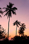 Coconut Palms at Sunset