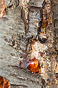 Amber-coloured gum oozing from the trunk of a plum tree afflicted with Prunus bacterial canker.