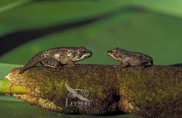 WOOD FROG  froglets on cattail..Most northerly amphibian in world..Summer. Nova Scotia, Canada..(Rana sylvatica)..