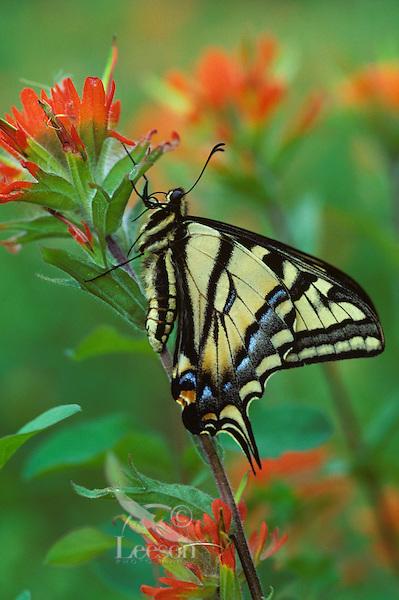 Western Tiger Swallowtail (Papilio rutulus) on paintbrush