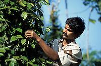 INDIA Kerala, Idukki District, Peermade, Cardamom Hills, organic and fairtrade pepper project of PDS Peermade Development Society, farm worker harvest green pepper berries, after harvest they will be dried in the sun to get black pepper / INDIEN Kerala, Kardamom Berge, Peermade Development Society, Anbau von fairtrade und Bio Pfeffer, Bauern ernten die gruenen Pfefferbeeren, nach der Ernte werden sie in der Sonne getrocknet bis sie schwarz werden