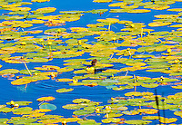 "'LILY PAD HUNTER""<br />