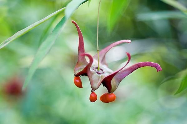 Euonymus Cornutus Var.quinquecornutus