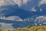 Adult guanacos (Lama guanicoe). Torres del Paine National Park, Patagonia, Chile.