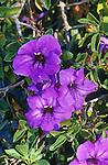 15179-CG Desert Ruellia or Desert Petunia, Ruellia peninsularis, flowers, in January, at Palm Springs, CA USA.