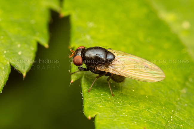 Small, unidentified fly (Diptera).