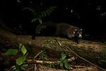 White-nosed Coati (Nasua narica) male in tropical rainforest, Osa Peninsula, Costa Rica