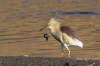 An Indian Pond Heron drops his catch of eel in Ranthambhore Tiger Reserve, Rajasthan, India