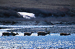 Caribou migration, Jago River Region, Alaska