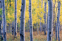 Aspens near Owl Creek Pass.<br /> <br /> Canon EOS 1, 100mm lens, Fuji Provia 100 film