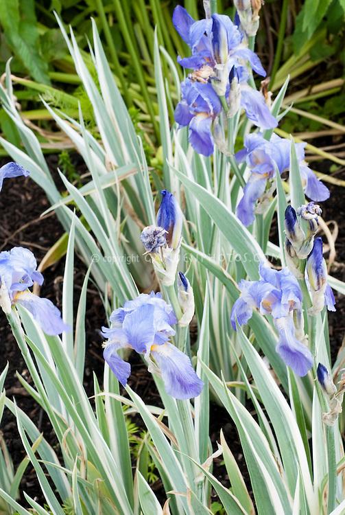 Iris pallida 'Argentea Variegata' in flower