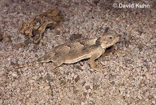 0610-1005  Desert Horned Lizard or Horny Toad (Mojave Desert), Phrynosoma platyrhinos  © David Kuhn/Dwight Kuhn Photography