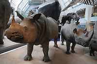 LONDRES-UK-25-05-2013. Rinocerontes disecados en el Museo de Historia Natural, Londes. Stuffed Rinos in the Natural History Museum, London. Photo: VizzorImage