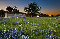 Rustic old country house, barn and windmill in a Field of bluebonnet wild flowers in Pontotoc, Texas, springtime in the Texas Hill Country.