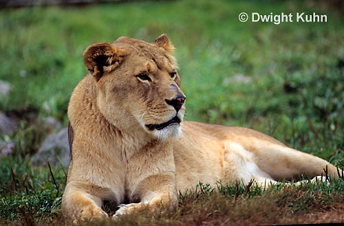 MA39-007a  African Lion - Panthera leo