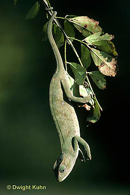 CH22-005z  African Chameleon - holding onto branch with tail  - Chameleo senegalensis