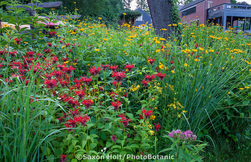 Monarda didyma (crimson beebalm, scarlet beebalm, scarlet monarda, Oswego tea, or bergamot), red flowering perennial native wildflower in Connecticut meadow garden with native plants; Larry Weiner Design