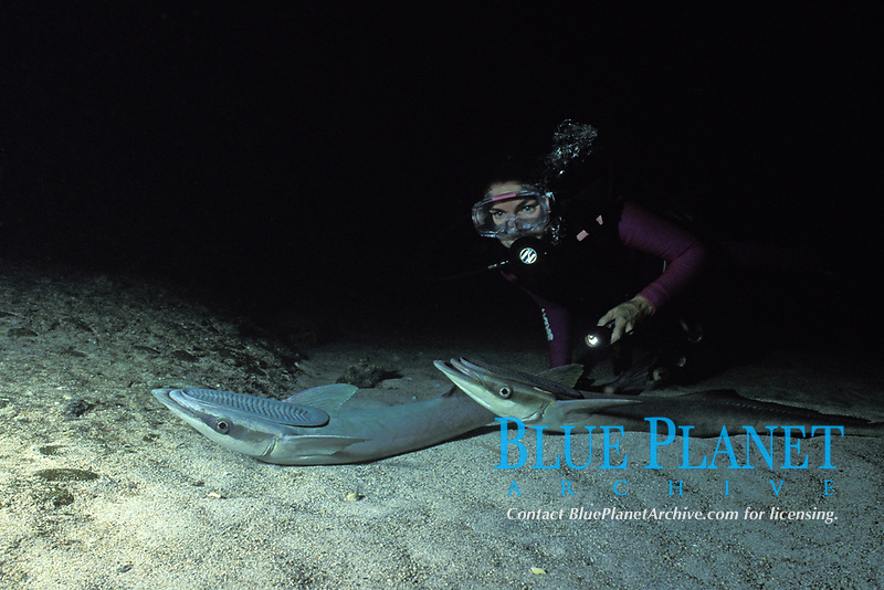 diver with two sharksuckers, Echeneis naucrates, Bahamas, model released