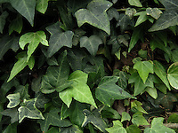 BOGOTÁ-COLOMBIA-15-01-2013. Textura de hojas verdes. Texture of green leafs.  (Photo:VizzorImage)