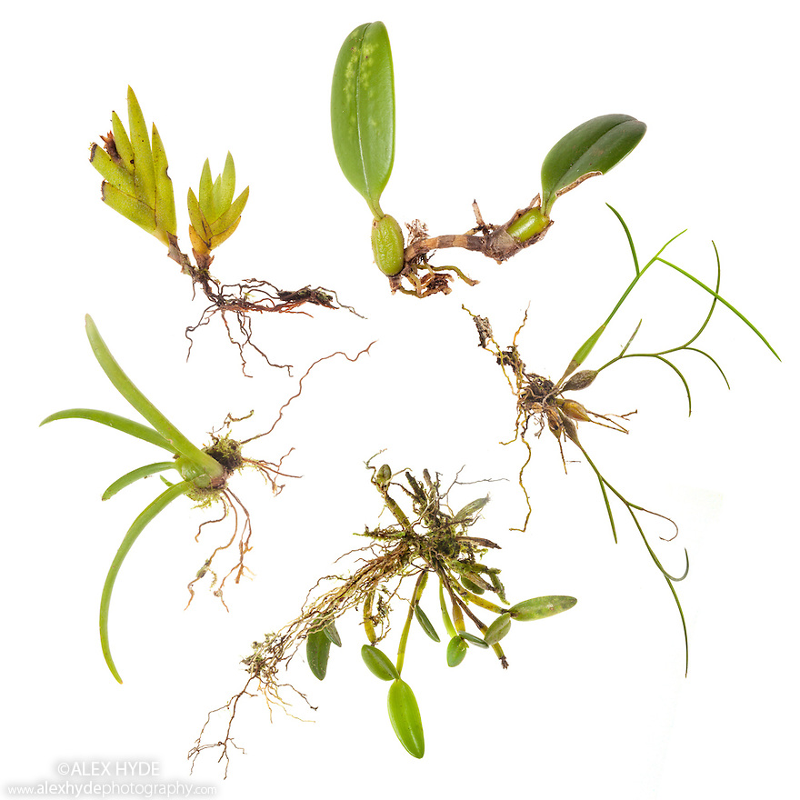 Epiphytes from rainforest canopy including several orchid species, dislodged after a storm. Epiphytes are plants that grow above the ground surface, using other plants or objects for support. By growing up in the rainforest canopy, these plants are able to reach more light. Photographed on a white background in a mobile field studio. Danum Valley, Sabah, Borneo.
