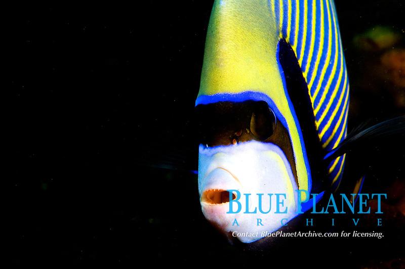 emperor angelfish, Pomacanthus imperator,