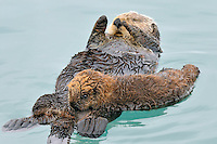 Alaskan or Northern Sea Otter (Enhydra lutris) pup nursing while mother rests.