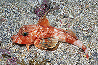 Redbanded searobin , Lepidotrigla guentheri , Izu ocean park, Sagami bay, Izu peninsula, Shizuoka, Japan, Pacific Ocean