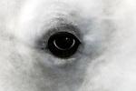 beluga whale close-up of eye at surface