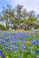 Wildflower and Bluebonnets Vertical - Capture these Texas bluebonnets and perky sues along a ridge in the hill country that had these lovel blues and yellow flowers with a nice blue sky behind the trees.  We drove for a pretty good distance and found most of the wildflowers in the same areea for this years bluebonnets season. This was not the best season for bluebonnets but we did manage to capture a few wildflowers.